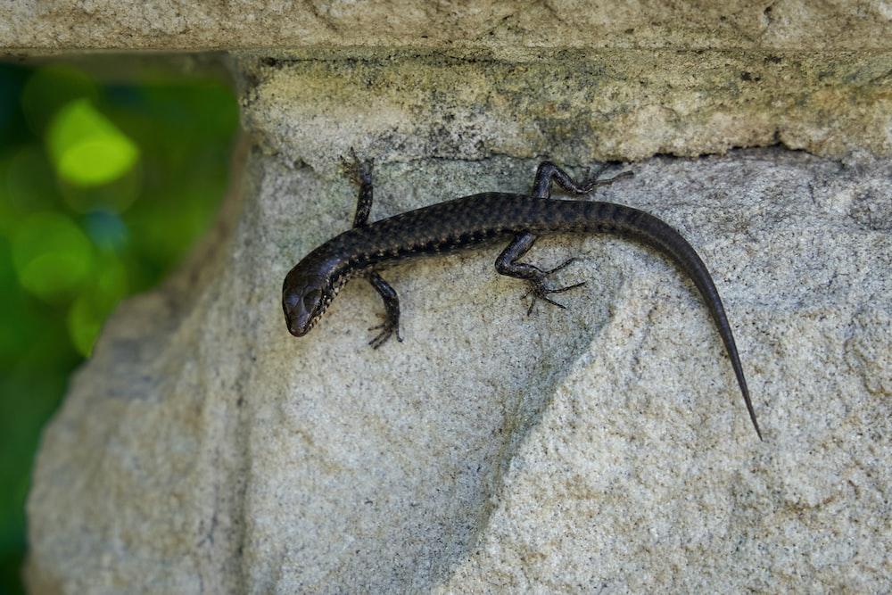 black and white lizard on white concrete wall