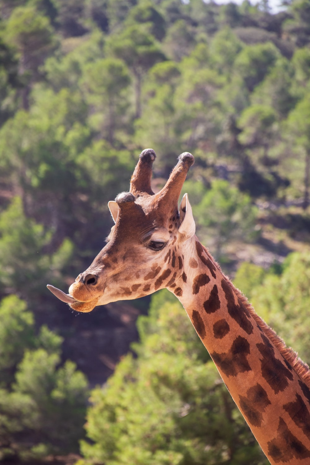 brown giraffe in close up photography during daytime