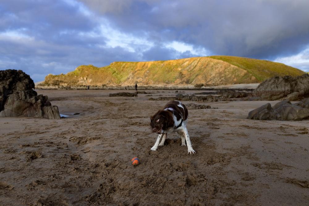 black and white short coat dog on brown sand during daytime