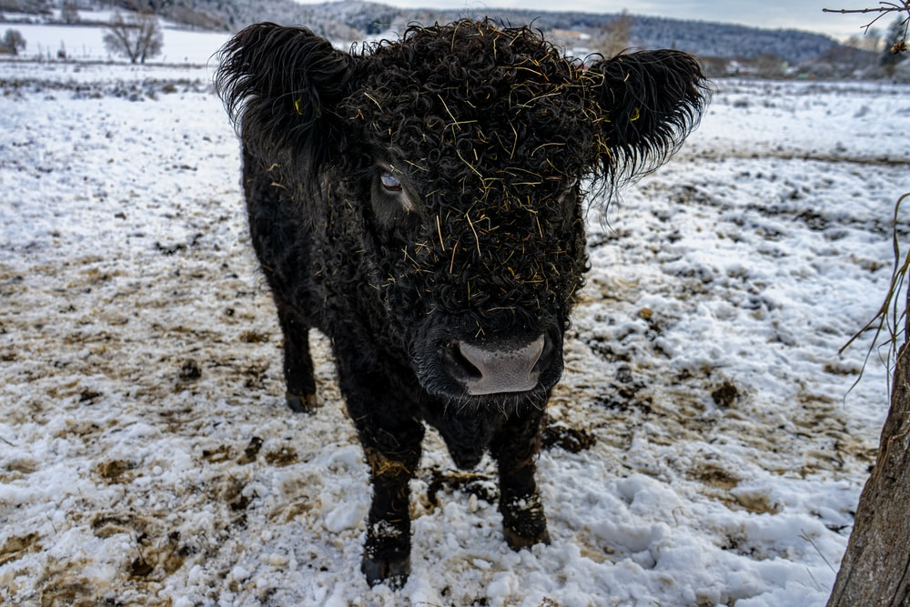 black yak on white snow covered ground during daytime