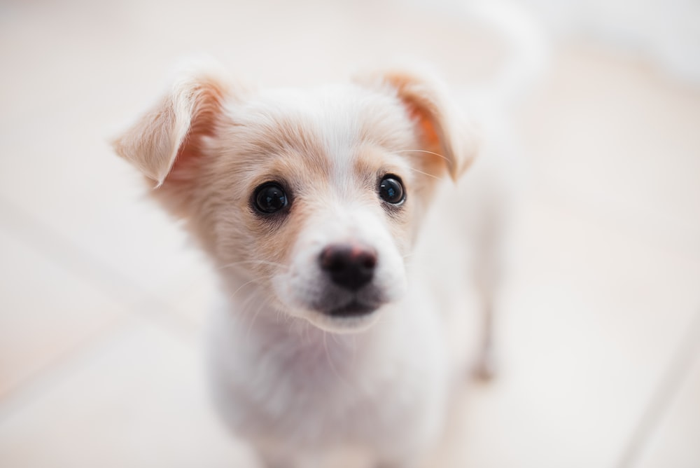 white and brown short coated puppy
