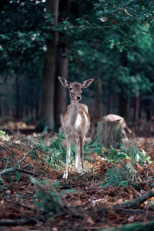 brown deer on brown dried leaves during daytime