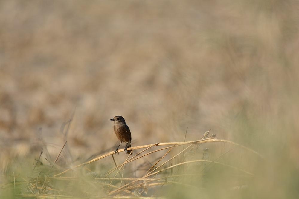 brown bird on brown grass during daytime