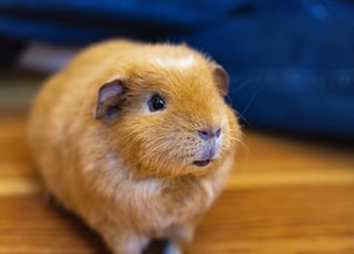 brown guinea pig on brown wooden table