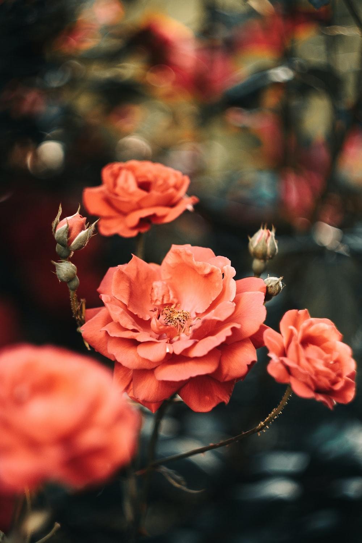 pink roses in tilt shift lens