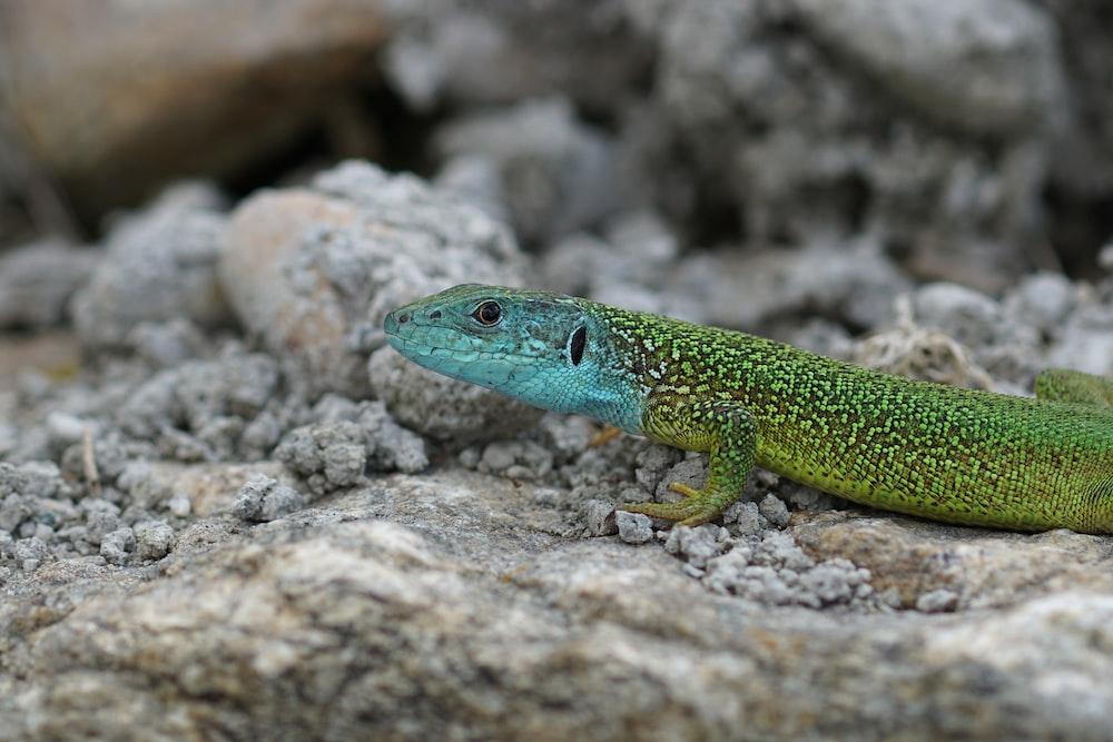 green lizard on gray rock