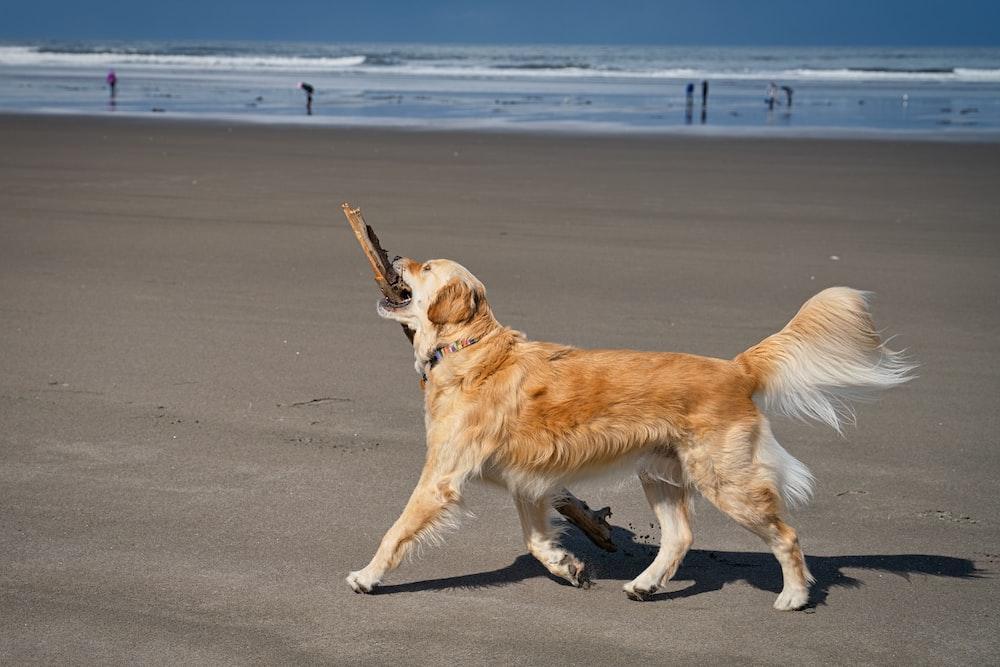 golden retriever on gray sand during daytime