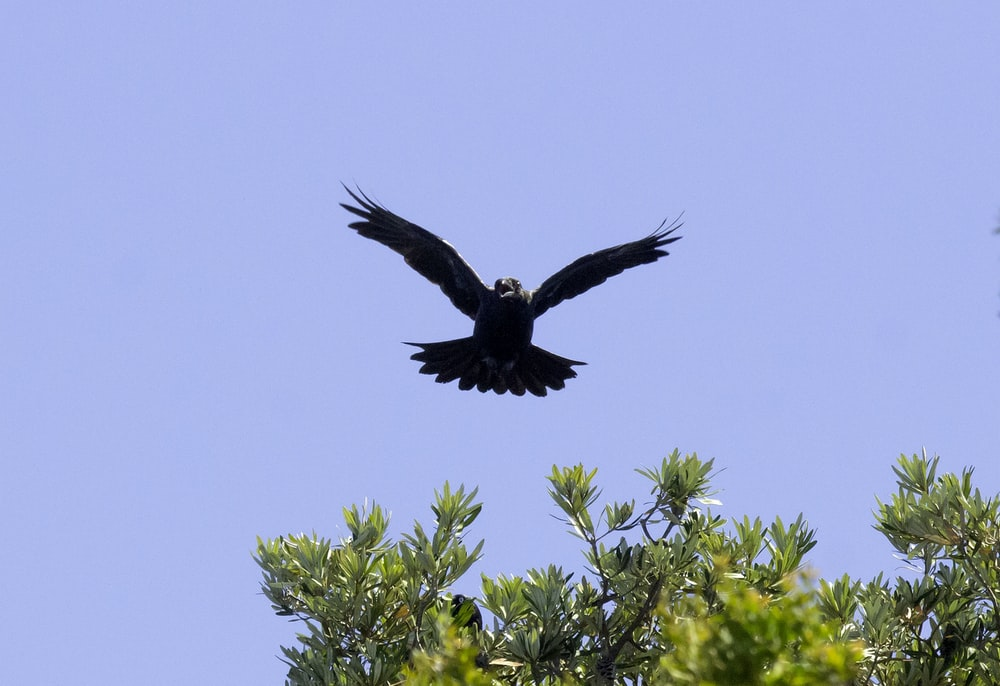 black bird flying over green tree during daytime