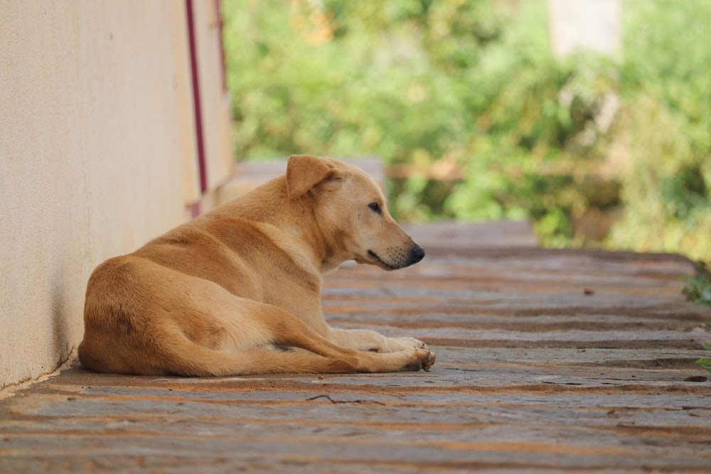 brown short coated dog lying on brown wooden floor during daytime