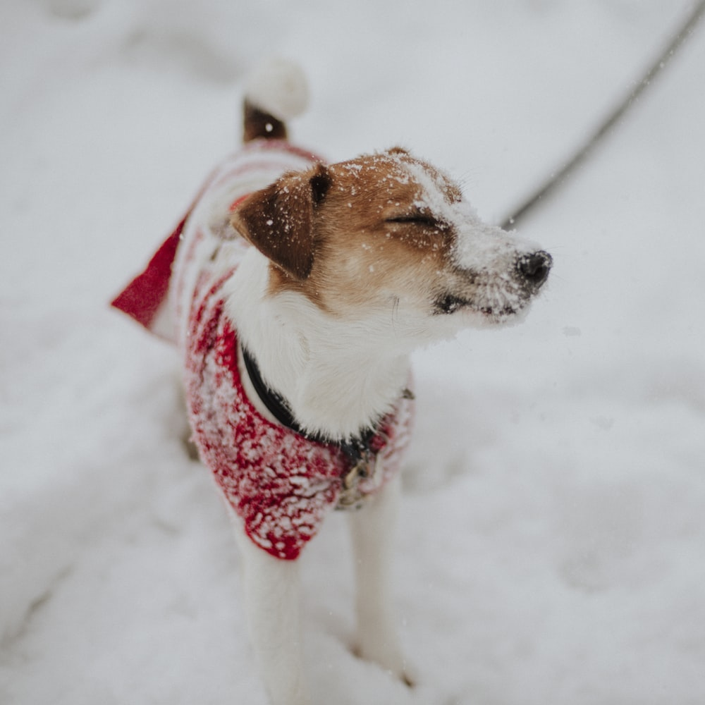 brown and white short coated dog wearing red and white scarf on snow covered ground