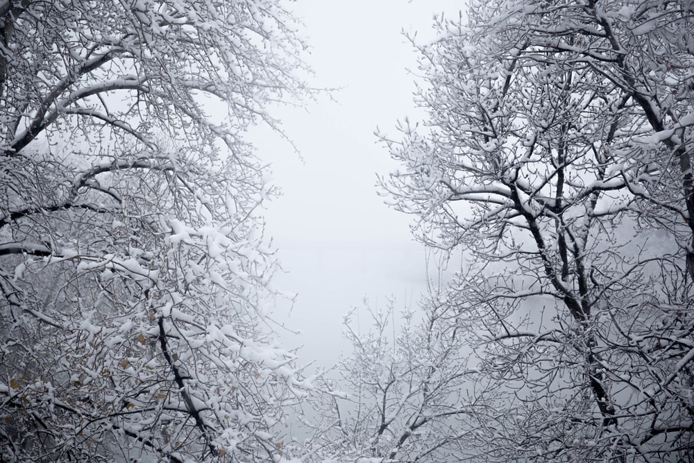 leafless trees covered with snow