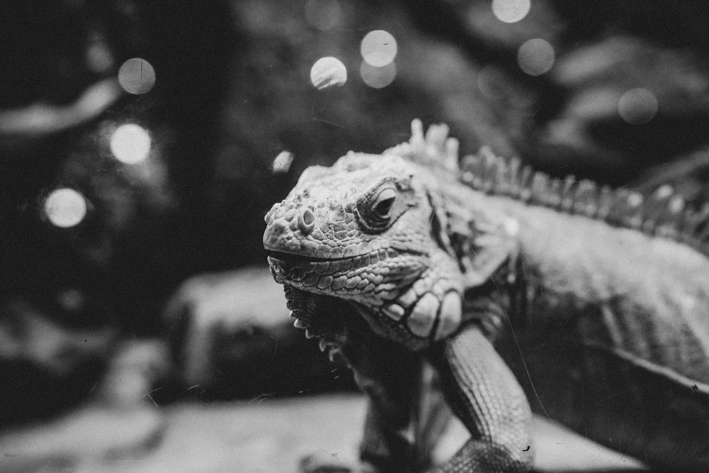 grayscale photo of a lizard