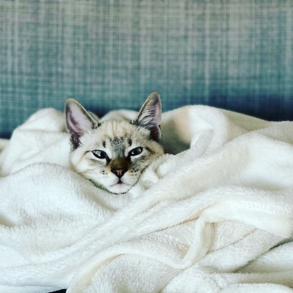 brown tabby kitten covered with white blanket