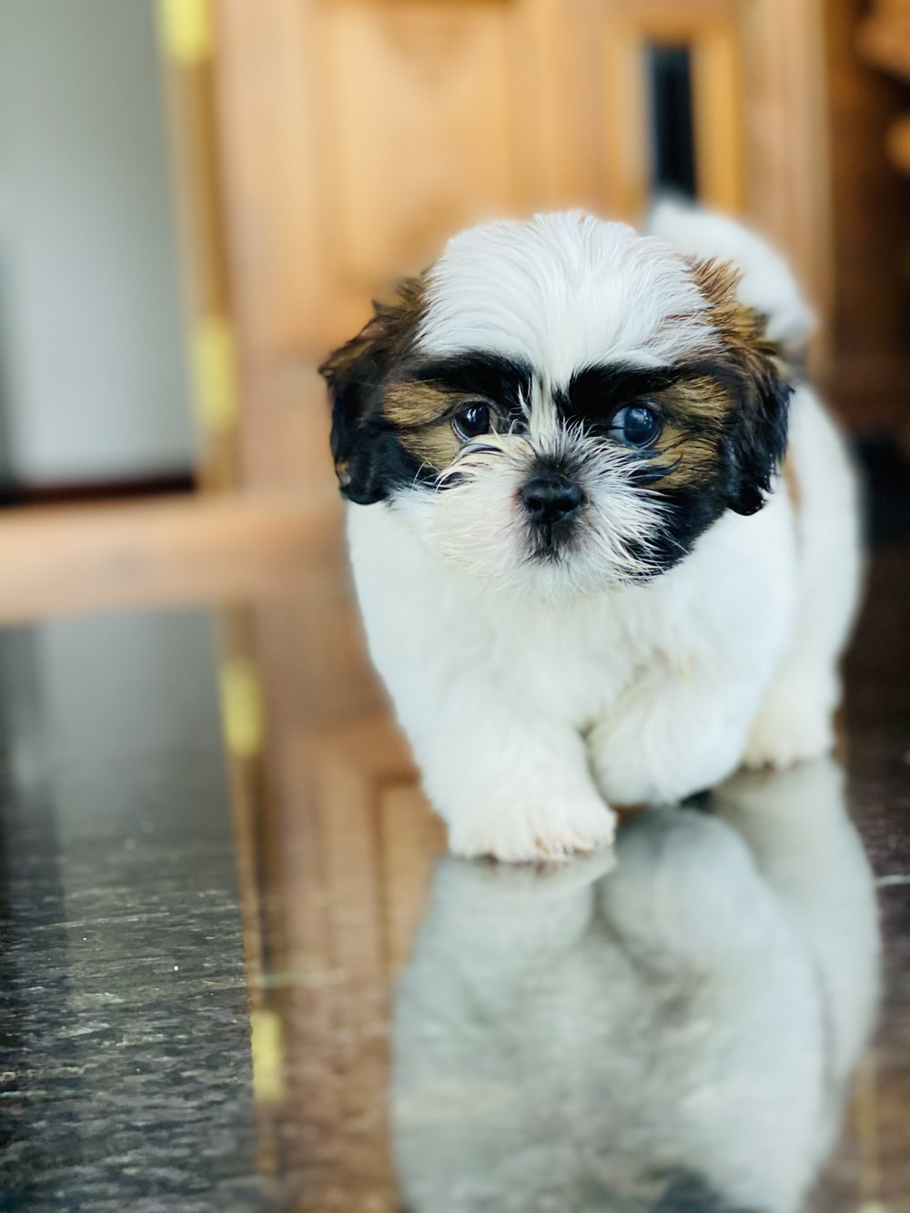 white and brown shih tzu puppy