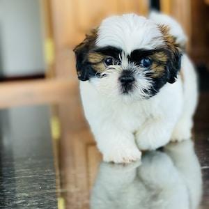 white and brown shih tzu puppy