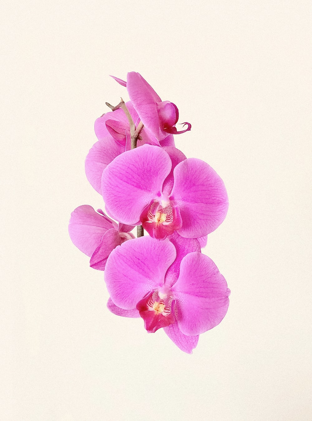 purple moth orchids in bloom