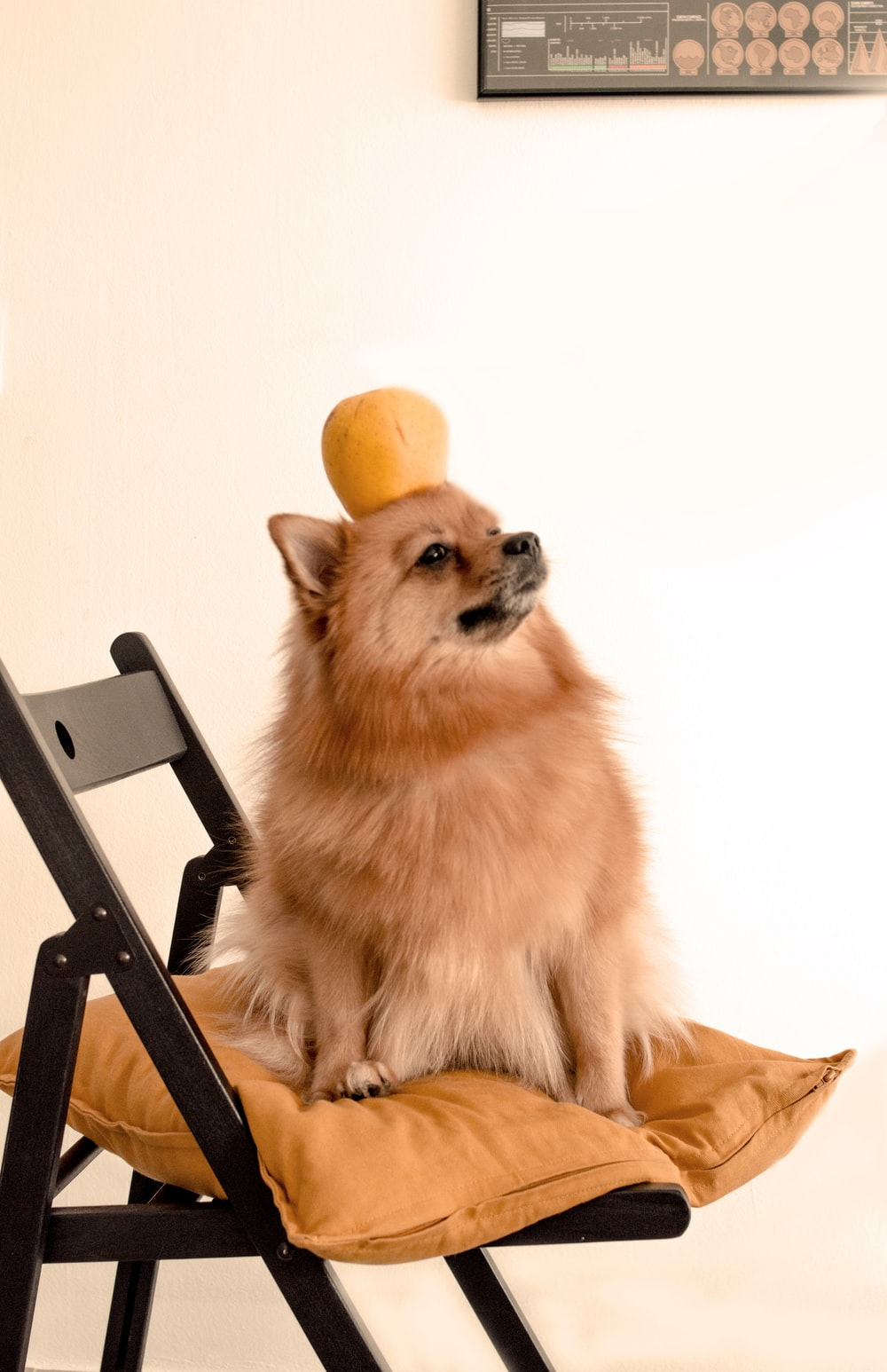 brown pomeranian puppy on black wooden chair