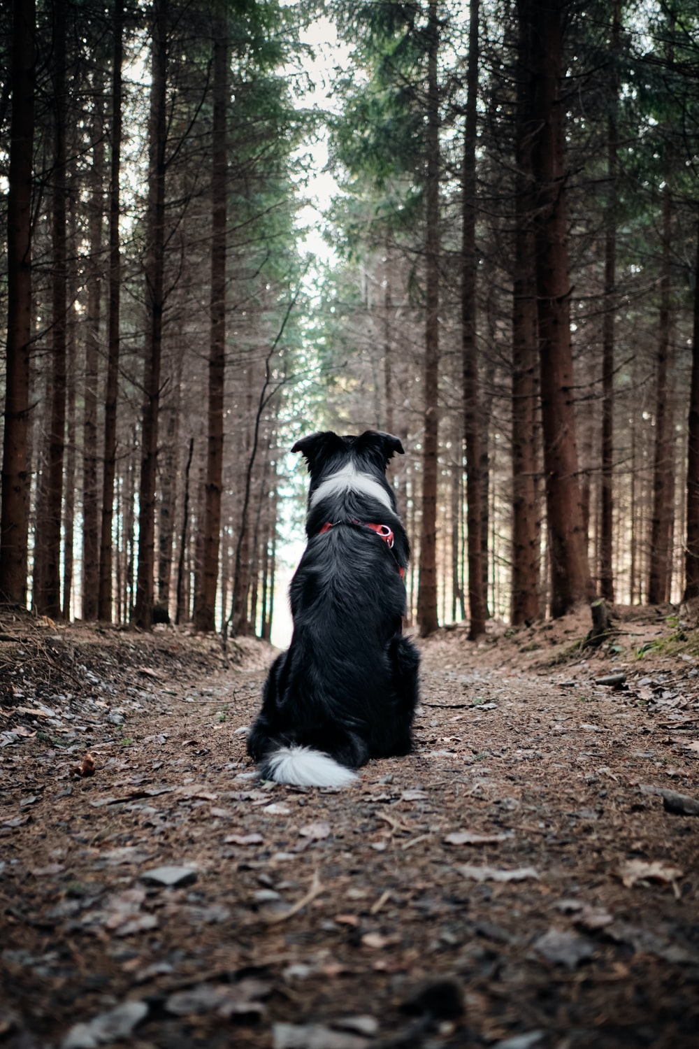 black and white border collie sitting on ground surrounded by trees during daytime