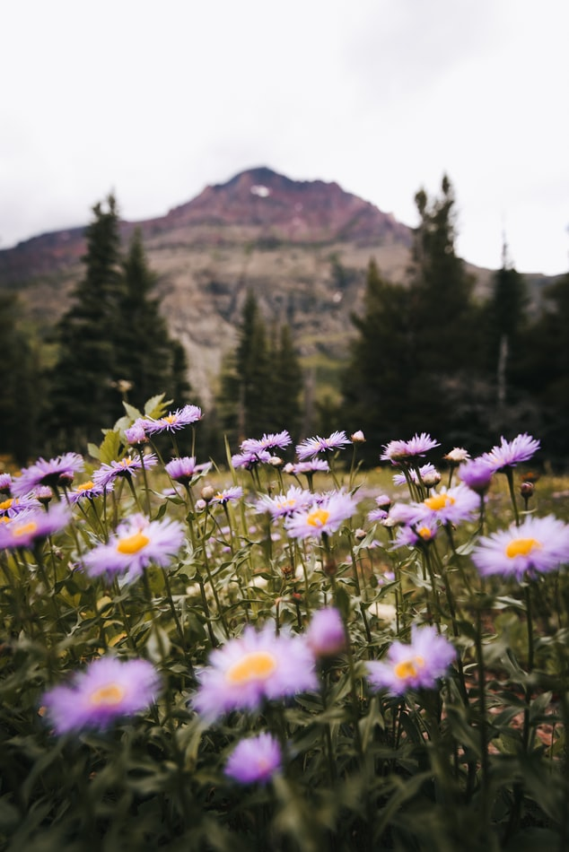 Montana wild flowers and mountains.