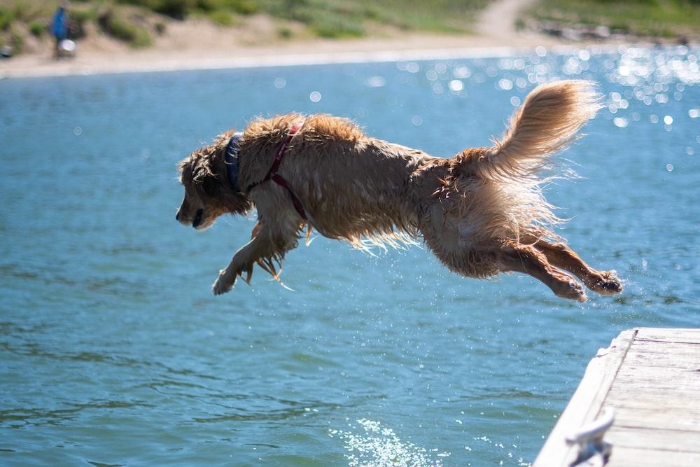 golden retriever running on water during daytime