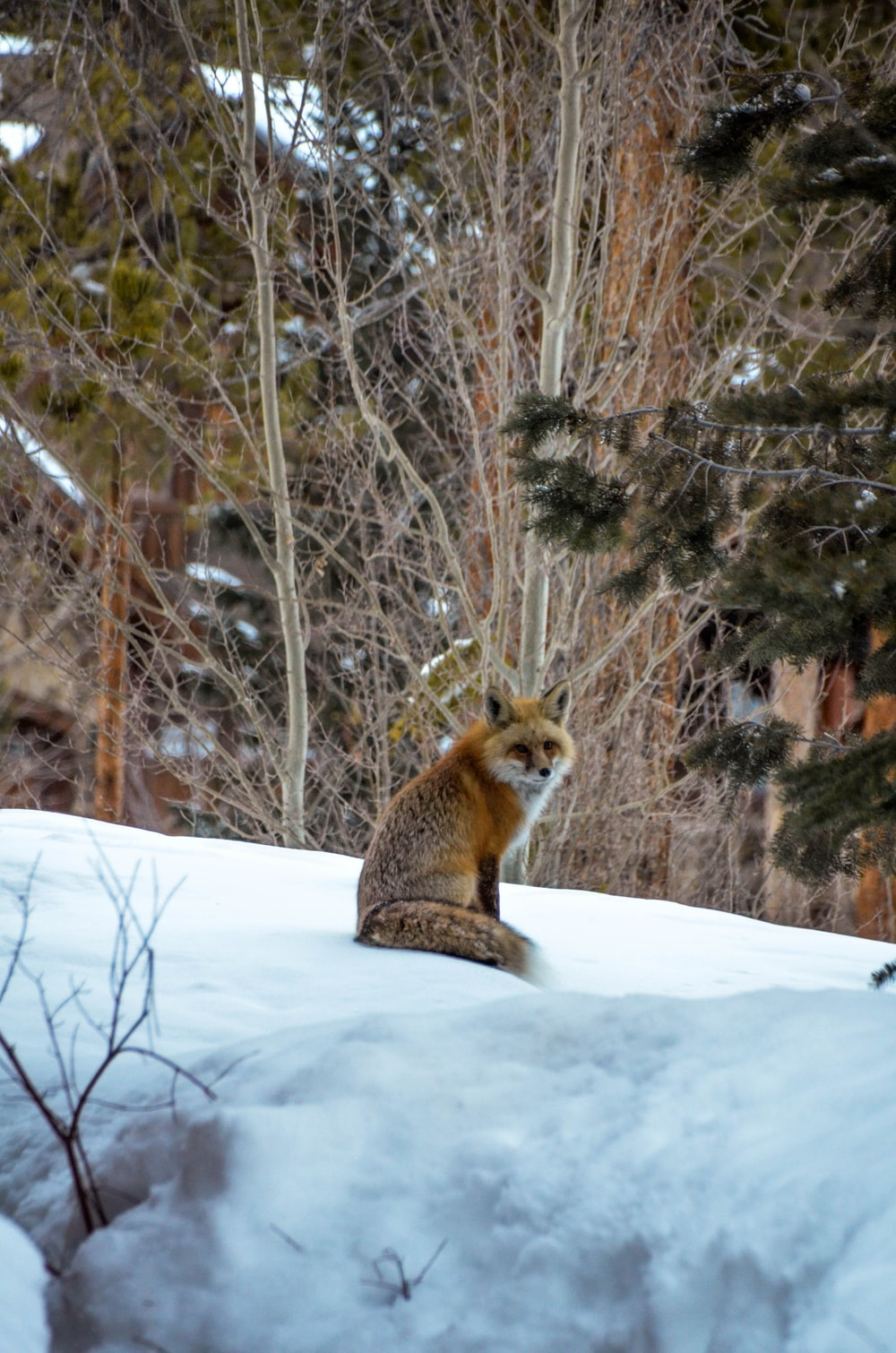 brown and black fox on snow covered ground during daytime