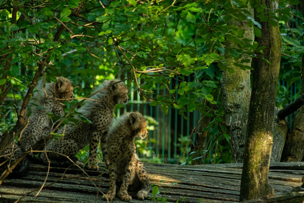cheetah and leopard on wooden plank