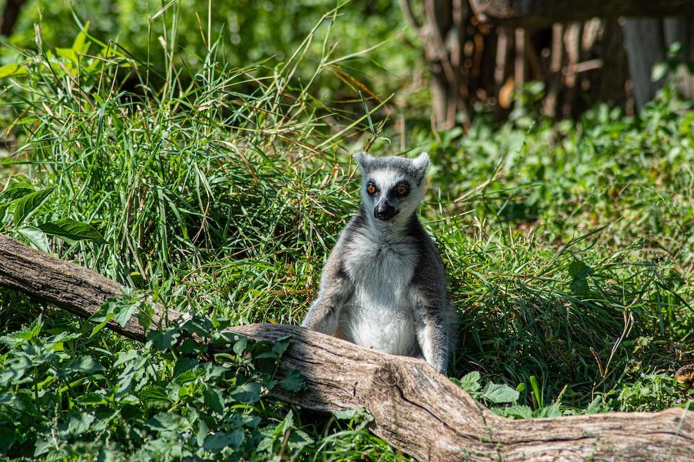 white and black lemur on brown tree branch during daytime