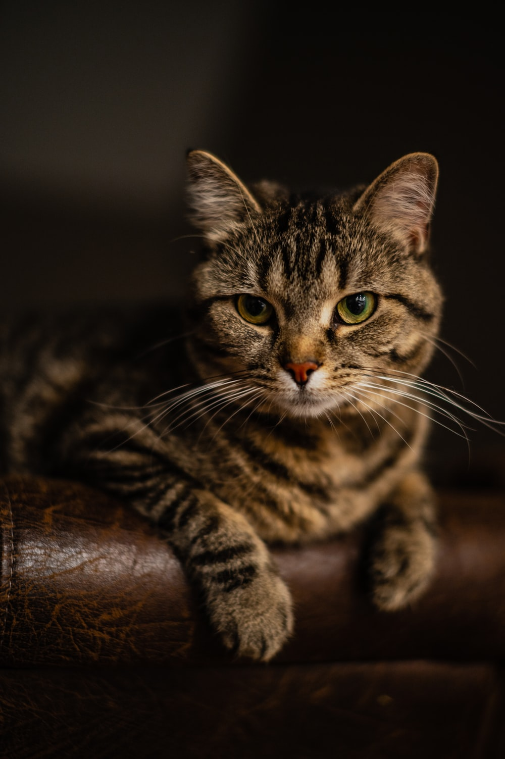 brown tabby cat on brown leather couch