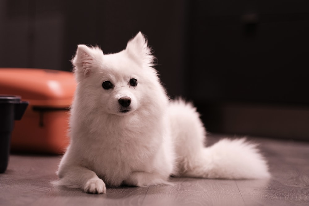 white pomeranian puppy on brown wooden table