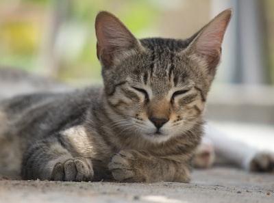 Chennai brown tabby cat on gray concrete floor