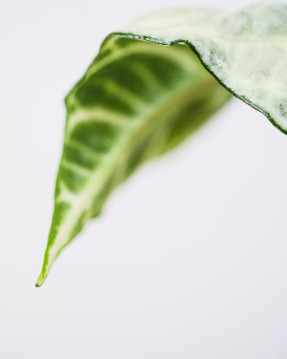 green leaf with white background