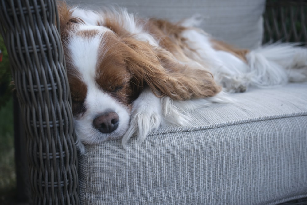 brown and white long coated small dog lying on gray and white striped textile