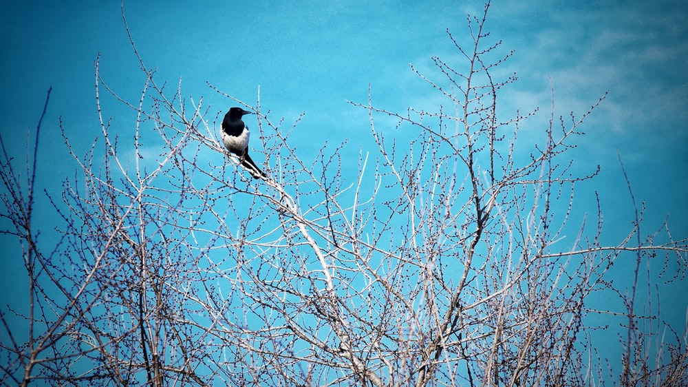 black and white bird on bare tree under blue sky during daytime