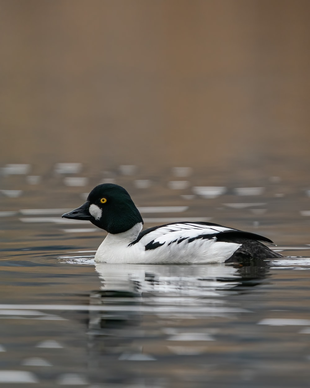black and white duck on water