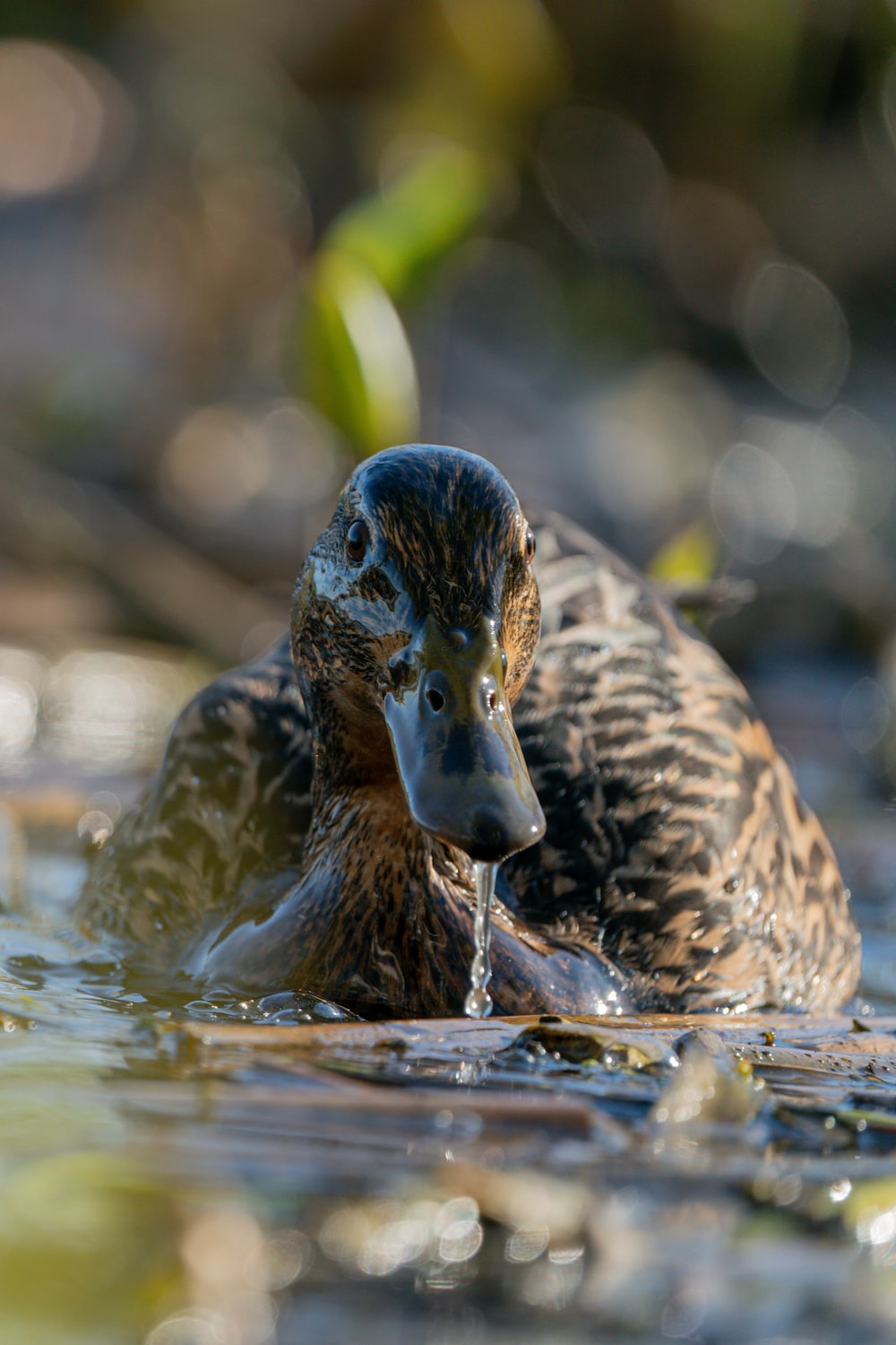 black and brown duck on water