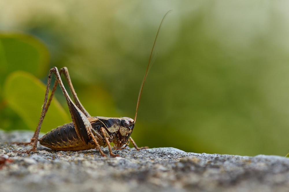 brown grasshopper on gray rock during daytime