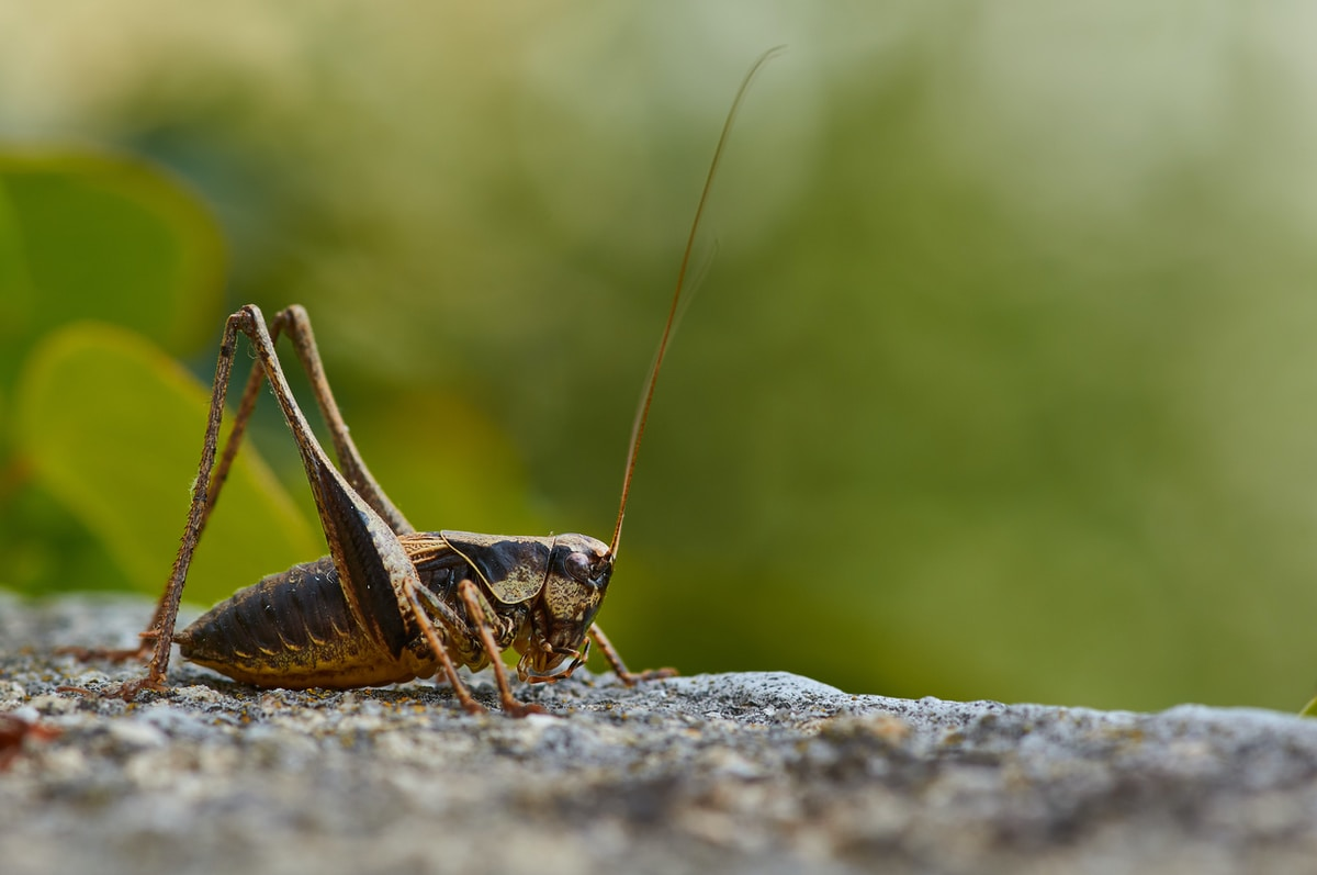canto del grillo, brown grasshopper on gray rock during daytime