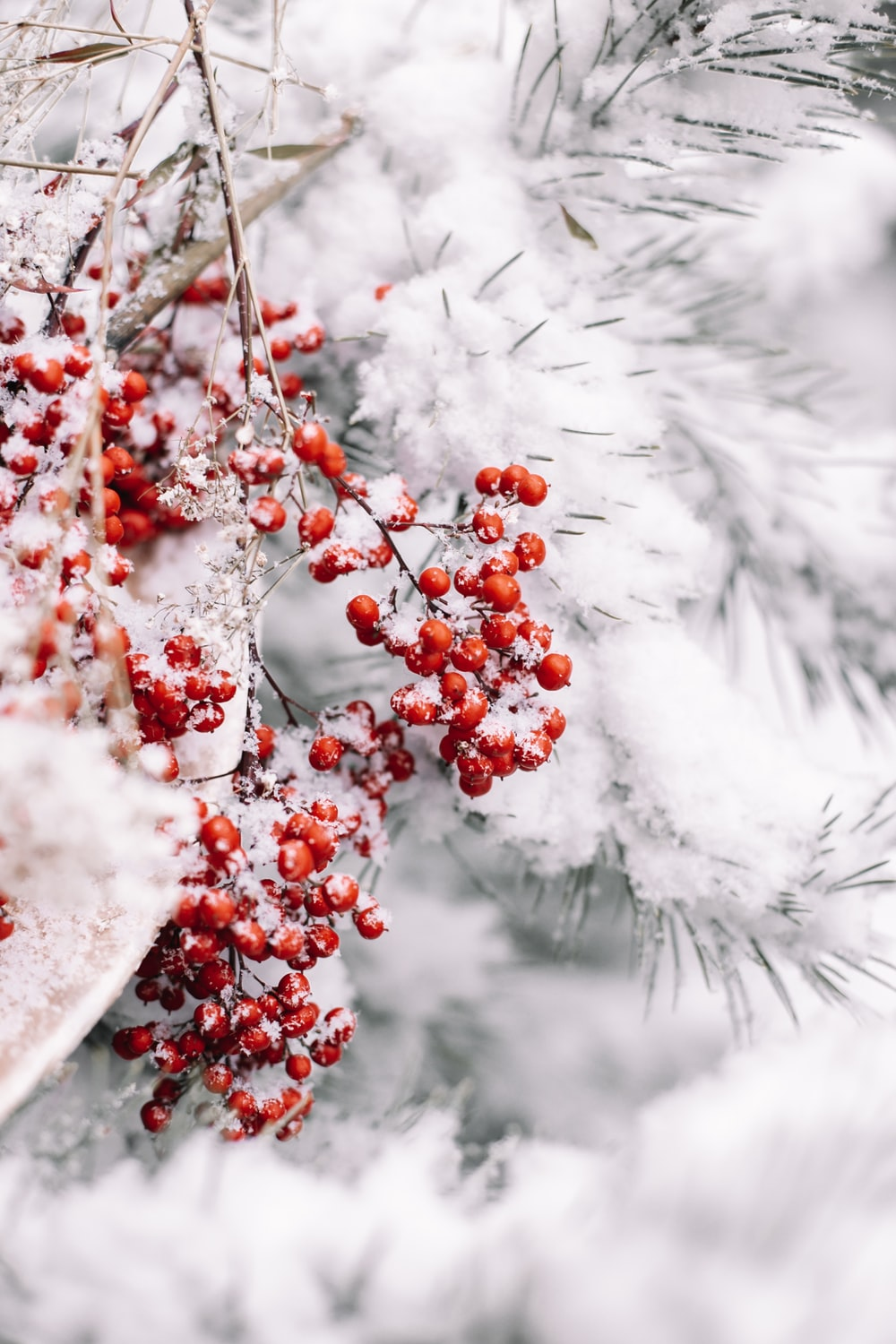 red round fruits covered with snow