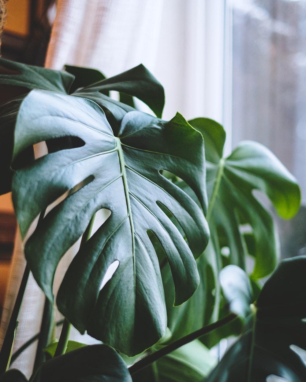 green leaf plant near white curtain