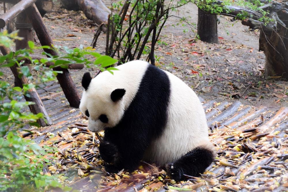 white and black panda on brown tree branch during daytime