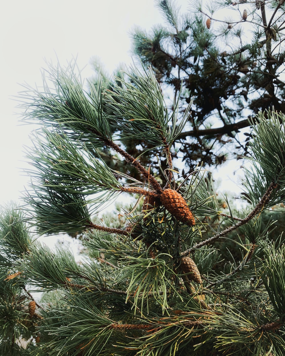 brown pine cone on green pine tree during daytime