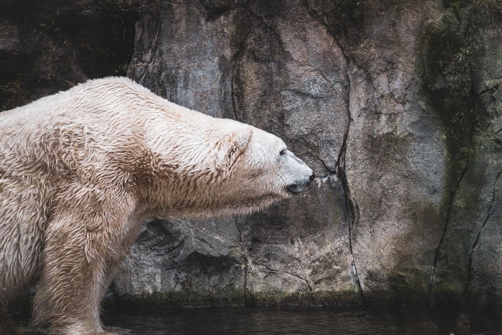 polar bear lying on rock