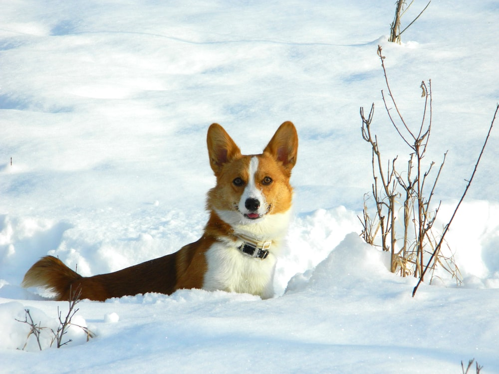 brown and white corgi on snow covered ground during daytime