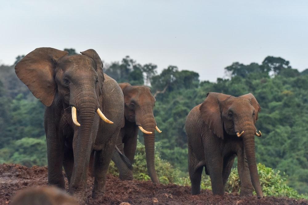 brown elephant walking on brown soil during daytime