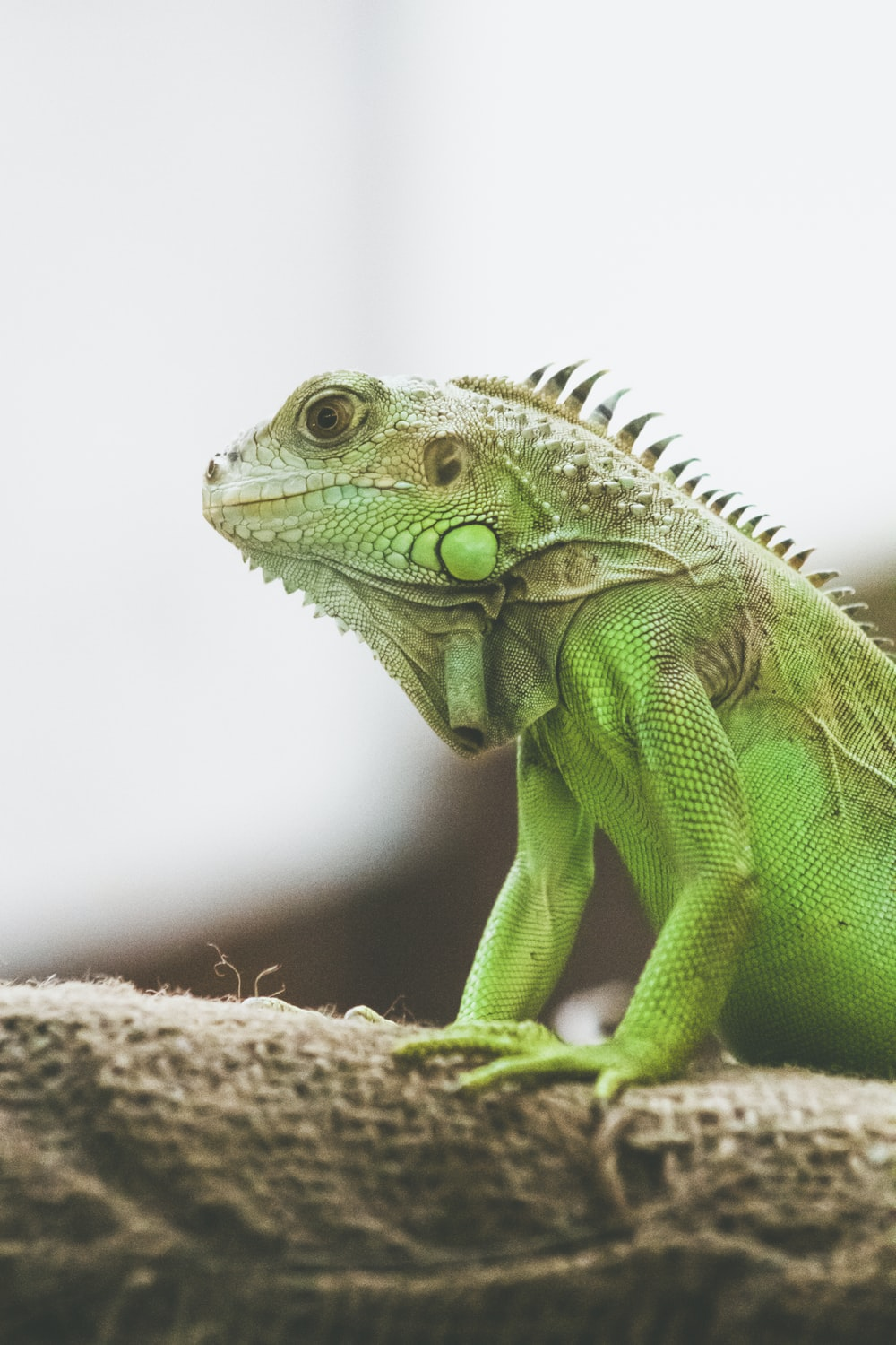 green and brown iguana on brown wooden surface