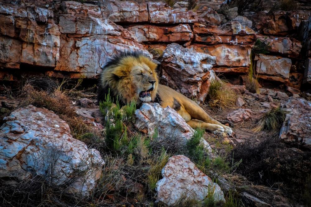 lion lying on rock during daytime
