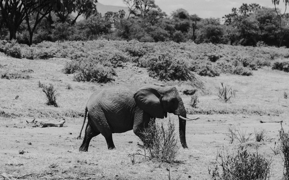 grayscale photo of elephant walking on grass field