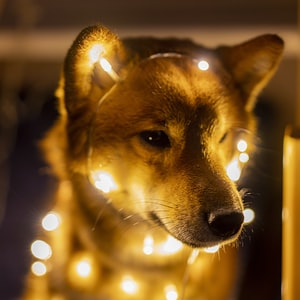 brown short coated dog with yellow string lights