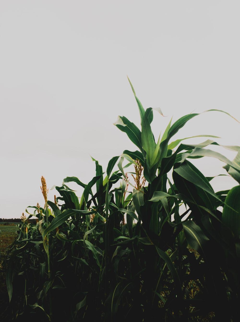 green corn field under white clouds during daytime