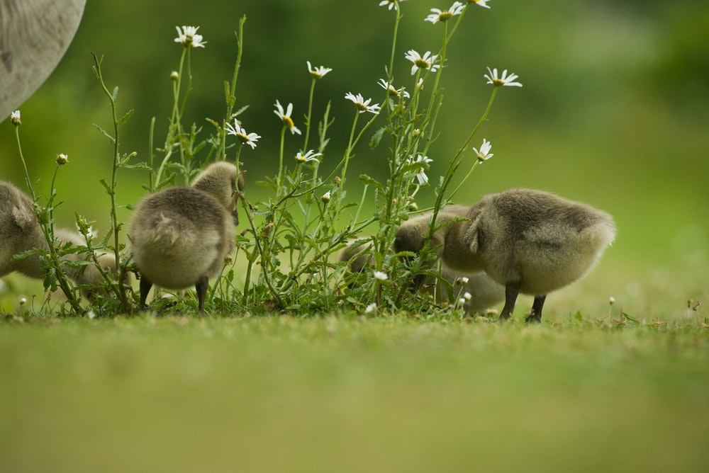 gray and white duck on green grass field during daytime